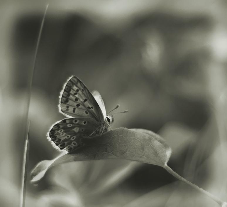 papallonaone